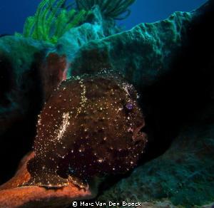 black frog fish by Marc Van Den Broeck