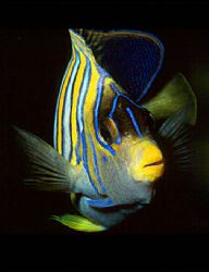 Regal angelfish portrait. Photo taken in Vanuatu with a N... by Andre Seale