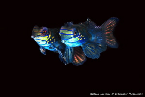 Couple of Mandarin fishes by Raffaele Livornese