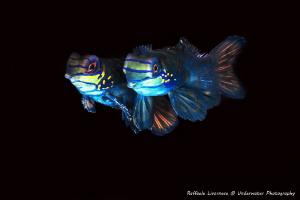 Couple of Mandarin fishes by Raffaele Livornese