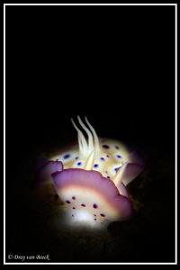Chromodoris kunei by Dray Van Beeck