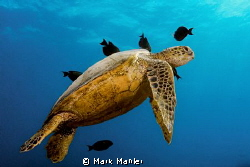 Turtle canyon cleaning station, south shore Oahu, Hawaii