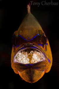 Cardinal Fish with Mouth Brood by Tony Cherbas