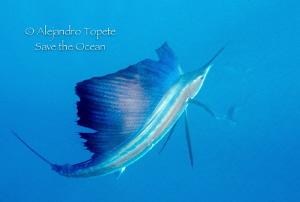 Sailfish ready to hunt, Isla Mujeres Mexico Niconos V, 1... by Alejandro Topete