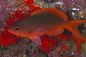Red Fish, Isla de Coco Costa Rica by Alejandro Topete