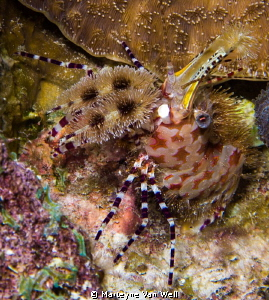 Sighting of a Marble Shrimp during recent night dive at h... by Marteyne Van Well