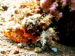 Bearded scorpionfish by Laura Dinraths