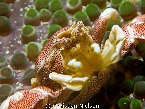 Porcelain crab shot with my 105 mm macro by Christian Nielsen