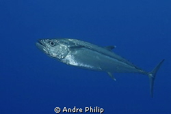 close encounter with a big dogtooth tuna by Andre Philip