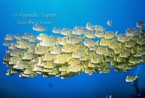 School of yellow fishes, Cabo Pulmo Mexico Nikonos V, 15... by Alejandro Topete