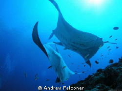 This shot of two manta rays came at the end of a liveaboa... by Andrew Falconer