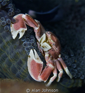 porcelain crab at Bunaken , Sulawesi by Alan Johnson