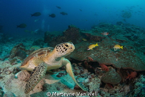 A green turtle taking a look at the camera by Marteyne Van Well