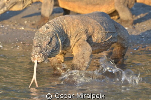 Big Komodo Dragon with hungry in Rinca Beach by Oscar Miralpeix
