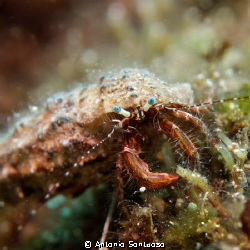 Little hermit crab by Antonio Sontuoso