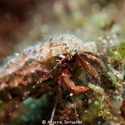 Little hermit crab by Antonio Sontuoso