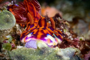 Ceretosoma in Komodo. by Greg Duncan