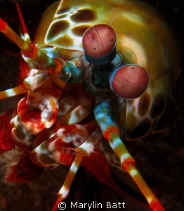 Lovely Peacock Mantis Shrimp, Anilao. by Marylin Batt
