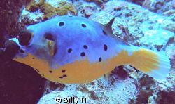 lonely puffer by Billy N