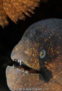 Portrait of a blackcheek moray. by Valda Fraser