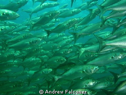 this shot of a wall of fish was taken at the Busselton je... by Andrew Falconer