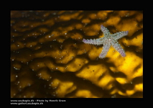 Tiny Seastar on Kelp (back lid) by Henrik Gram Rasmussen