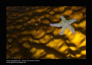 Tiny Seastar on Kelp (back lid) by Henrik Gram Rasmussen