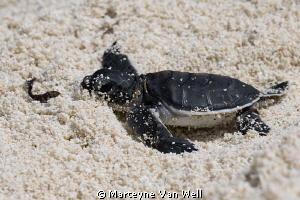 Exhausted.....!!  A tiny baby Green Turtle hatching makin... by Marteyne Van Well