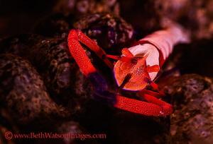 Emperor Shrimp...Puerto Galera, Philippines by Beth Watson