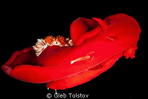 Two shrimps on a Spanish Dancer by Gleb Tolstov
