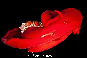 Two shrimps on a Spanish Dancer by Gleb Tolstov