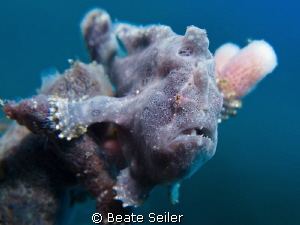 cute little blue frogfish by Beate Seiler