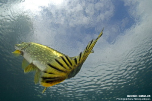 Young pike fish hunting pearl roaches close to the surfac... by Michel Lonfat
