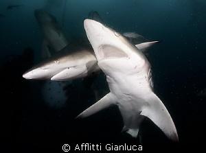 sharks in the dark by Afflitti Gianluca