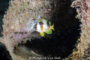 A little Damselfish in a bottle by Marteyne Van Well