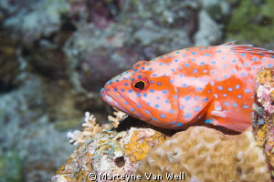 A grouper resting on rocks during a night dive by Marteyne Van Well