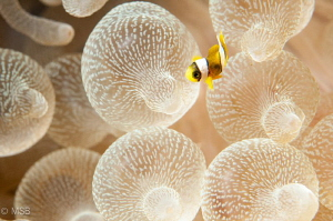 Very small clownfish. by Mehmet Salih Bilal