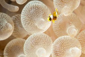 Very small clownfish. by Mehmet Salih Bilal