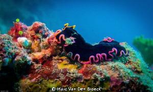platworm by Marc Van Den Broeck