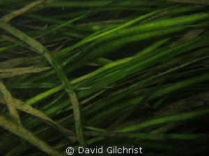 Aquatic Plant, Niagara River Night Dive by David Gilchrist