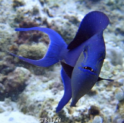 Common Blue Trigger Fish by Billy N