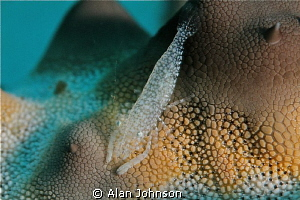 small starfish shrimp , looks like an Alien Landscape.! by Alan Johnson