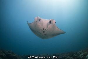Manta Ray passing by by Marteyne Van Well