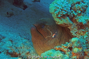 Some have a even bigger heads. This Muray is truly a giant! by Martin Wynistorf