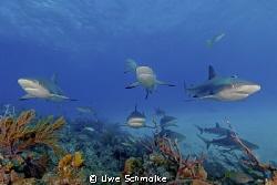 Among sharks -  These caribbean reef sharks I've taken o... by Uwe Schmolke