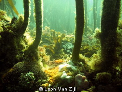 Kelp forest, One of my favorite diving spots in Hermanus ... by Leon Van Zijl