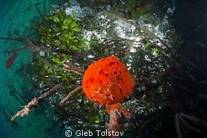 Red sponge in a Snell's window by Gleb Tolstov