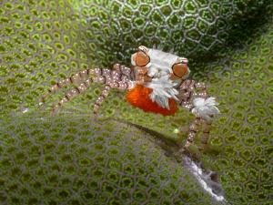 Lybia tassellata (boxer crab) with eggs. by Alex Varani