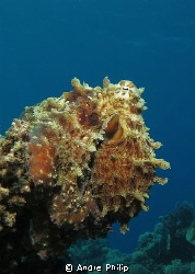 camouflaged as a coral - octopus on the reef by Andre Philip