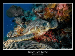 Green sea trutle by Alessio Oddo